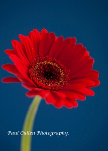 Bright Red Gerbera on blue background