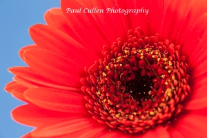 Red Gerbera on pale blue background