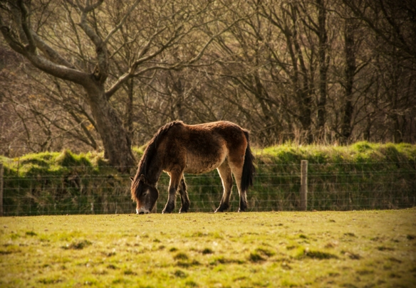 Exmoor pony grazing in a fiels in Exmoor, England.
