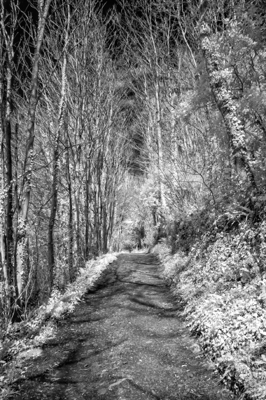 Tree-lined pathway in monochrome from infra-red recording. Location - near Bossington, Somerset, England.