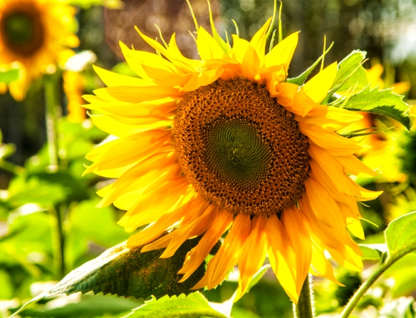 Sunflower lit from behind.
