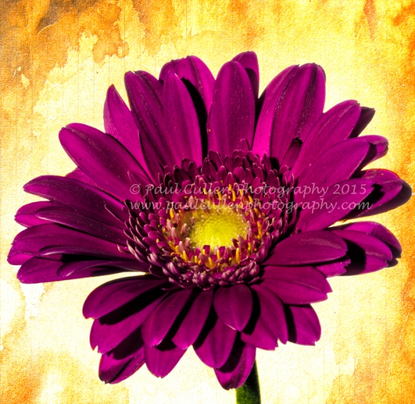 Dark pink Gerbera isolated on a white background.
