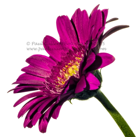 Dark pink Gerbera isolated on a White background profile view.