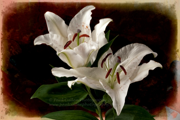 Beautiful white Lilly isolated on a watercolour style background.