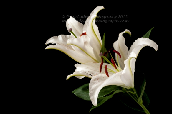 Beautiful white Lilly isolated on a black background.