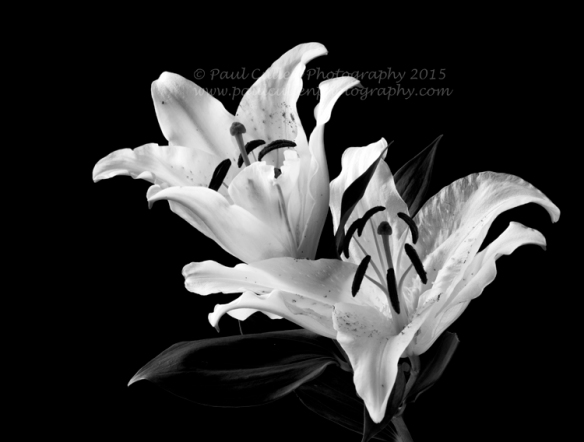 Beautiful white Lily isolated on a black background.
