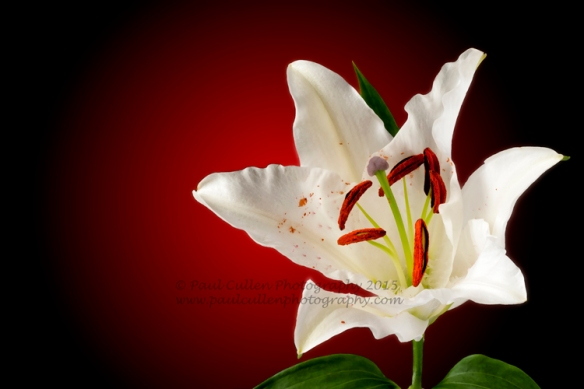 Beautiful white Lily isolated on a red background and a dry brush paint effect.