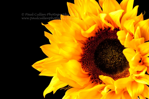 Beautifully rich golden Sunflower isolated on a black background.