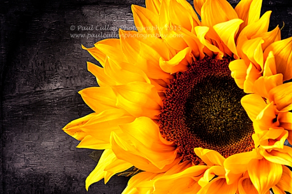 Beautifully rich golden Sunflower isolated on a oil painting  background.