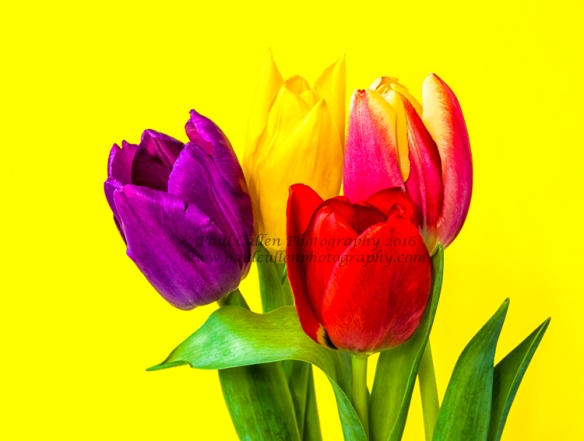 Tulips on a yellow background.