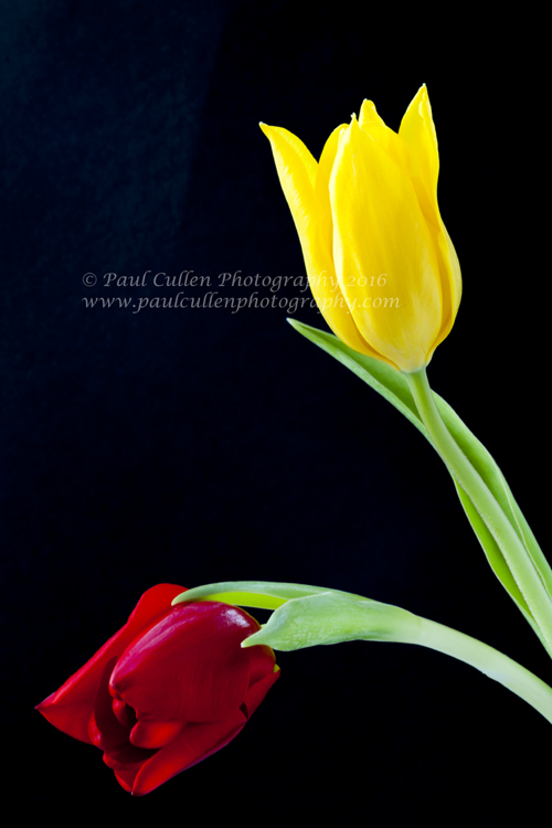 Two colourful Tulip flowerheads on a black background.