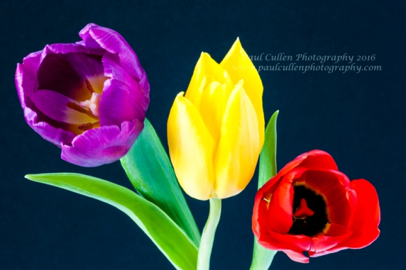 Three colourful Tulips on a dark blue background.