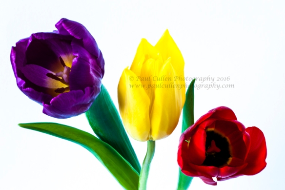 Three colourful Tulips on a white background.