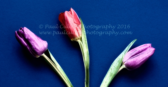 Three Tulips on a textured background