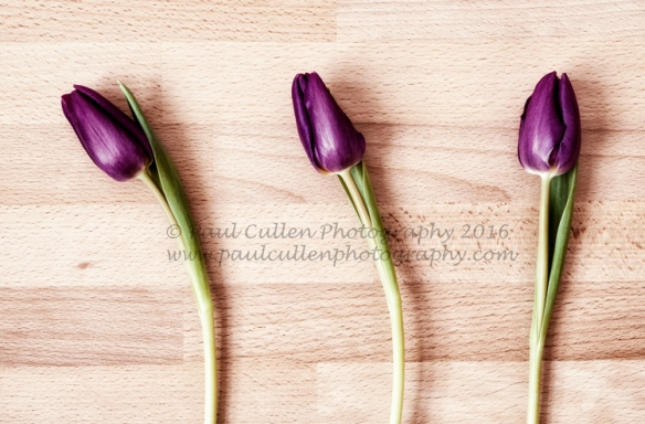 Three purple Tulips.