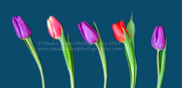 Five colored Tulips on a blue background.