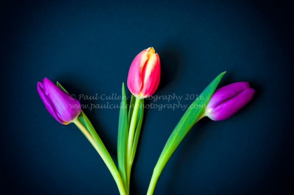 Three Tulips.