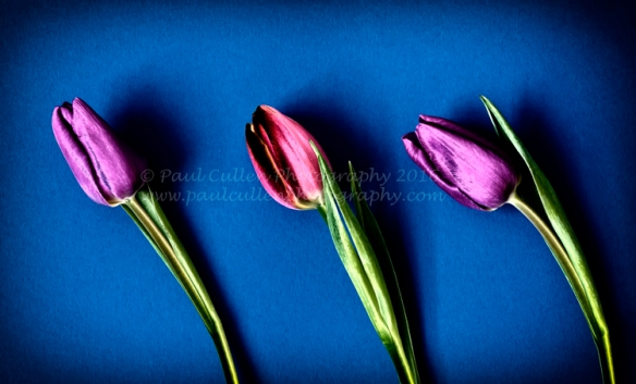 Three Tulips in colour.