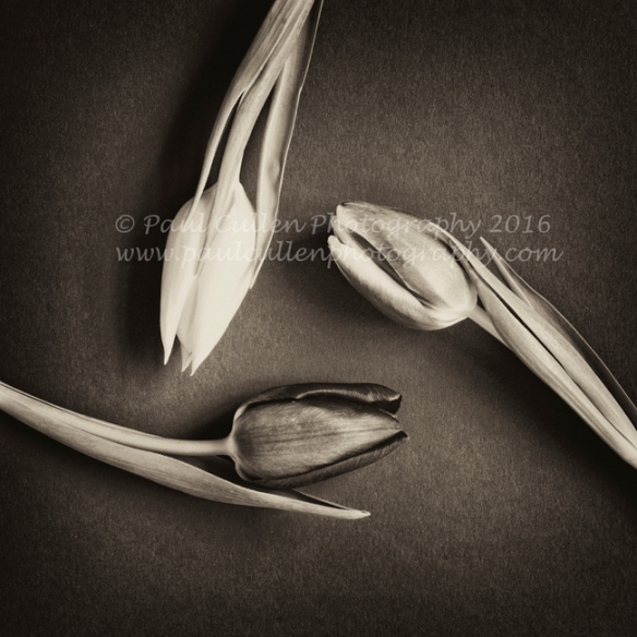 Three Tulips arranged in a circular pattern in sepia on a textured blue background.