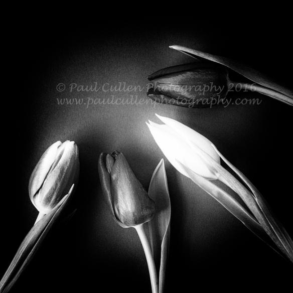 Four Tulips on a textured background- monochrome square