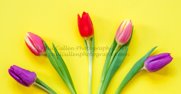 Five colourful Tulips on a bright yellow background.