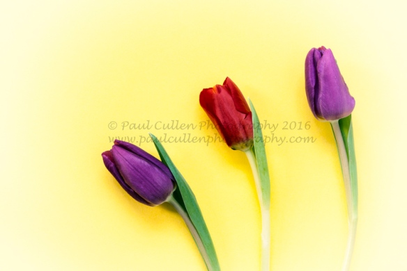 Three colourful Tulips on a bright Yellow Background.